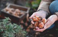 W jakim miejscu sadzić rośliny cebulkowe?